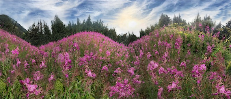 Rolling Fireweed